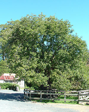 Kerikeri - The oldest fruit tree in New Zealand, near the Stone Store, still bears fruit. The building at rear is the historic blacksmith's shop established by the missionaries