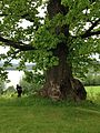 Oldest oak in Norway june 2017 2.jpg