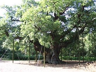 National symbols of England - Image: Oldest tree in Sherwood Forest park