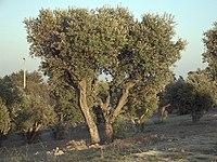 Olea europaea subsp europaeaOliveTree