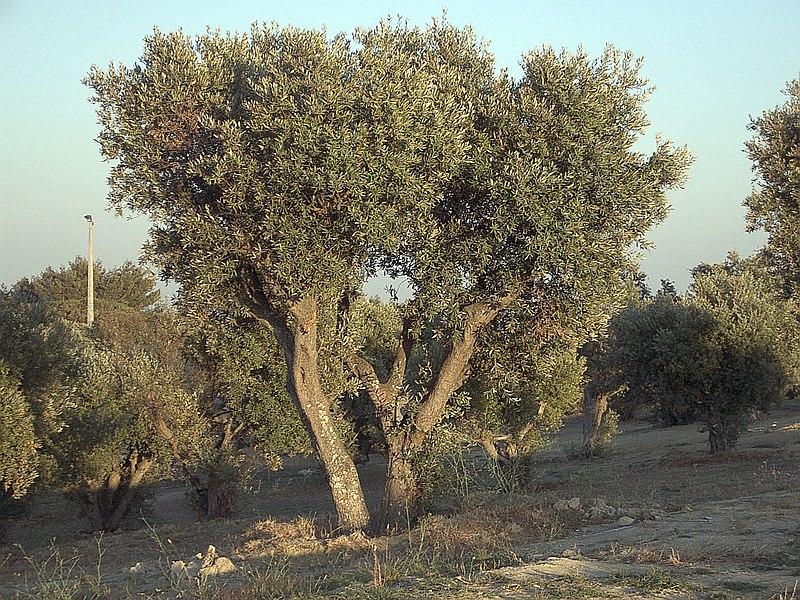 File:Olea europaea subsp europaeaOliveTree.jpg