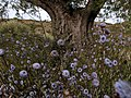 Olivo y globularias azules (6844153770).jpg