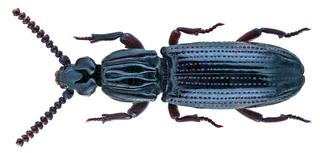 <i>Omoglymmius</i> Genus of beetles
