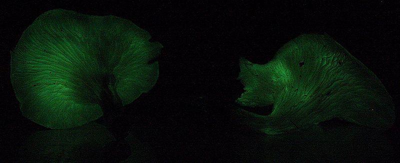 Fájl:Omphalotus nidiformis lawson lightoff email.jpg