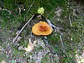 Omphalotus olearius 1.jpg