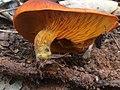 Omphalotus olearius 56212988.jpg