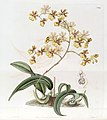 Oncidium auricula - Oncidium harrisonianum - Edwards vol 19 pl 1569 (1833).jpg