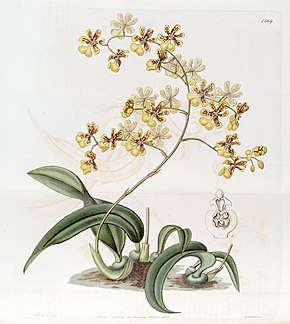 Description de l'image Oncidium auricula - Oncidium harrisonianum - Edwards vol 19 pl 1569 (1833).jpg.