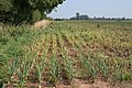 Onions at Christie House Farm - geograph.org.uk - 536572.jpg