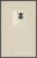 Onitis - Print - Iconographia Zoologica - Special Collections University of Amsterdam - UBAINV0274 001 05 0012.tif