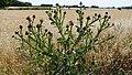 Onopordum-acanthium-Lunel-Viel-PhilippeGerbet.jpg
