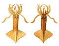 Onychoteuthis banksii1.jpg