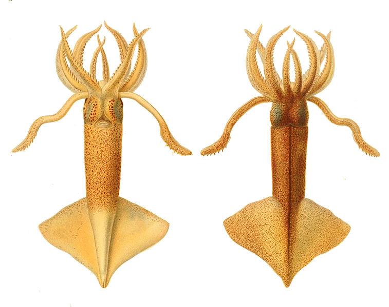 File:Onychoteuthis banksii1.jpg