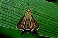 Open wing basking of Borbo cinnara (Wallace, 1866) – Rice Swift WLB DSC 2992a.jpg
