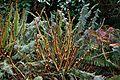 Opening fern fronds.jpg