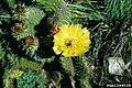 Opuntia polyacantha1UGA1399035.jpg