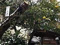 Oranges near Komyoji Temple in Dazaifu, Fukuoka 20150101.JPG