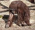 Orangutan 2d (5512044713).jpg
