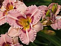 Orchid Daylily.jpg