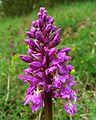 Orchis mascula Saarland 04.jpg