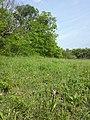 Orchis purpurea sl38.jpg
