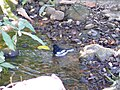 Oriental Magpie Robin - Copsychus saularis - Apr07 349.jpg