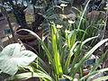 Orto botanico di Napoli 70.jpg