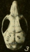 Oryzomys talamancae dorsal.png