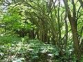 Osage Orange (Hedge Tree) 081.jpg