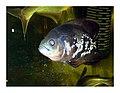 Oscarfish.JPG