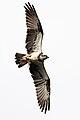 Osprey-Pandion cristatus.jpg