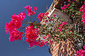 Ouarzazate - Fleurs - Flowers - Photo Image Photography (9123992877).jpg