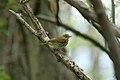 Ovenbird (Seiurus aurocapillus) (3483337007).jpg