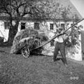"""Oves peljejo na vozu """"podrit?nku"""" (ker je svet strm), Vojsko- v Humu 1959 (4).jpg"""