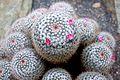 Owl's Eyes -Mammillaria parkinsonii.jpg