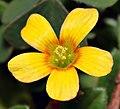 Oxalis corniculata - blossom top (aka).jpg