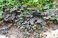 Oxalis tetraphylla 'Iron Cross' - Brooklyn Botanic Garden - Brooklyn, NY - DSC08200.JPG