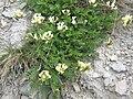 Oxytropis campestris01.jpg