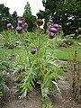 P1000575 Cynara cardunculus (Compositae) Plant.jpg