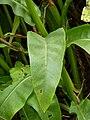 P1000618 Senecio doria (Ragwort) (Compositae) Leaf.JPG