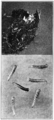 PSM V81 D046 Puparia and larvae of the house fly.png