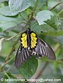 Pa Southern Birdwing 03 October 2007 H courtship (1489039125).jpg