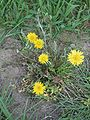 Paardenbloem herbicide schade (Taraxacum officinale herbicide damage).jpg
