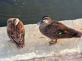 Pacific Black Ducks.jpg