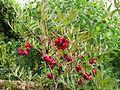 Paeonia delavayi - Flickr - peganum (1).jpg