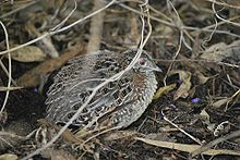 Painted ButtonQuail.jpg
