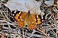 Painted Lady (35829494543).jpg