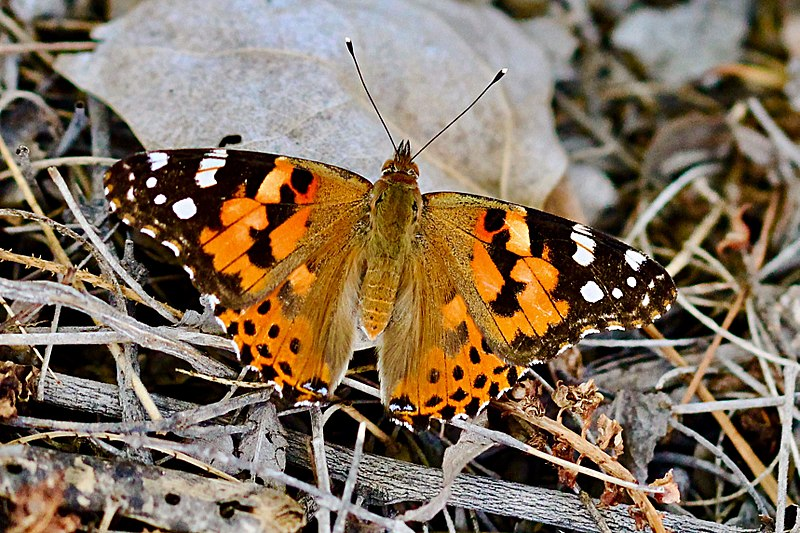 File:Painted Lady (35829494543).jpg