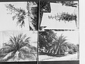 Palm tree plantation photograph held by Forestry Department(GN02044).jpg
