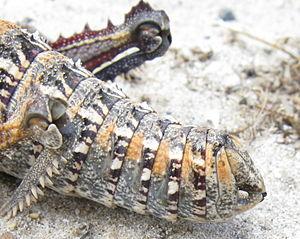Cercus - Image: Pamphagidae Hoplolopha abdomen cerci IMG 0862s